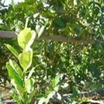 Growing Esrogs for Sukkot (October 14)
